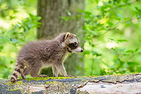 Raccoon (Procyon lotor) , Young animal, Lower Saxony, Germany, Europe