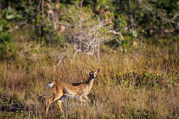 Florida Key Deer (white-tail) doe, National Key Deer Refuge, Florida Keys.