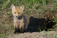 Red Fox Kit watching from just outside its den