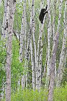 Black Bear cub climbing an aspen tree