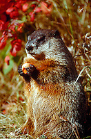 Groundhog standing up, eating carrot in autumn