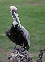 0217-08tt  Brown Pelican, Pelecanus occidentalis © David Kuhn/Dwight Kuhn Photography