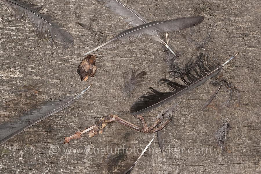 Rupfung, Amsel wurde von einem Sperber gerupft, Federn und ein Bein mit Krallen als Nahrungsreste