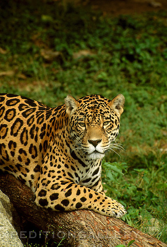 A large male jaguar with spotted fur resting on a log. The jaguar (Panthera onca) is the largest of the big cats found in the New World. It is relatively rare throughout its range from Mexico to Argentina. Best known as a denizon of tropical rainforests, jaguars also inhabit grasslands and scrub habitats where they are predators of deer, capybara and other animals. [captive animal]