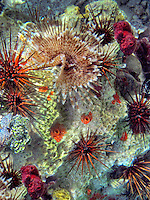 Long spined sea urchin and feather duster worm. St. John. Virgin Islands Virgin IslandsVirgin Islands Coral Reef National Monument.