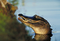 American Alligator. Florida, Everglades National Park.