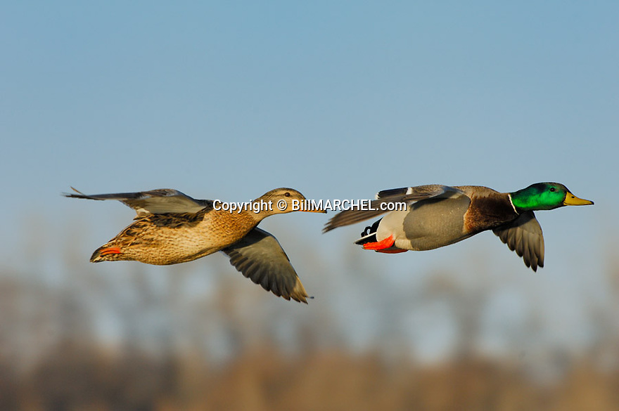 00330-066.06 Mallard Duck (DIGITAL) drake and hen in flight against trees and sky.  Action, color, breed.  H5R1