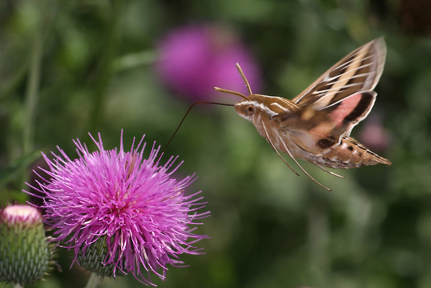 """National Wildlife Federation - Honorable Mention 2012.<br /> The Sphinx or """"Hummingbird Moth"""" lets you know when it's near, it has almost the same sound/pitch as an actual hummingbird.<br /> The sound is loudest as it flies, less so at hover."""