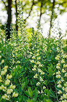 Baptisia 'Carolina Moonlight'