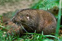 Mountain Beaver (Aplodontia rufa), Pacific Northwest.