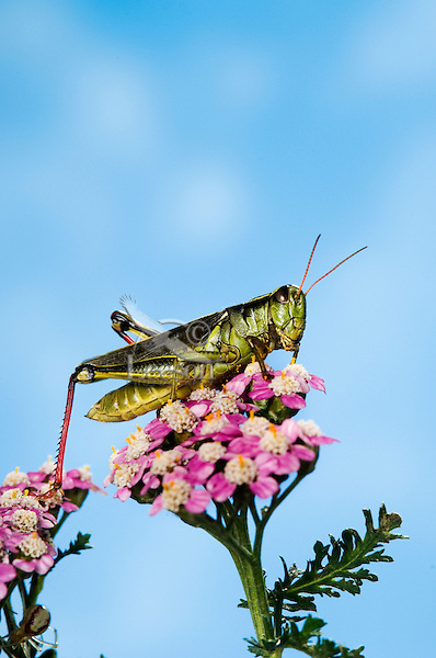 Red-legged Grasshopper (Melanoplus femurrubrum). It is found almost everywhere in Canada and the USA and is the most common grasshopper in the Eastern USA and Canada.