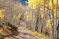 Late autumn aspens and trail (horizontal), near Crystal, Colorado