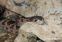 0422-1001  Huamantlan Rattlesnake (Mojave Rattlesnake),  Southwestern United States Deserts, Crotalus scutulatus salvini  © David Kuhn/Dwight Kuhn Photography.