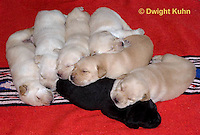 SH36-510z  Lab Dogs, 2 week old young, genetic variations of black, yellow, cream [white], Labrador Retriever