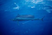 game fish, Indo-Pacific Ocean Sailfish, Istiophorus platypterus, Sea of Cortez, Mexico