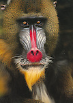 """Mandrill<br /> 5x7"""" blank notecard with white envelope."""