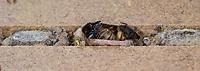 Rote Mauerbiene, Entwicklung, 10. Imago nach der Überwinterung im Puppenkokon, Kokon, geöffneten Kokon in Brutkammer mit Trennwand aus Lehm. Entwicklungsreihe Entwicklungsstadien, Brutröhre, Niströhre im Querschnitt, Brutkammer, Brutkammern, Rostrote Mauerbiene, Mauerbiene, Mauer-Biene, Nest, Neströhre, Niströhren, Wildbienen-Nisthilfe, Wildbienennisthilfe, Osmia bicornis, Osmia rufa, red mason bee, mason bee, L'osmie rousse, Mauerbienen, mason bees