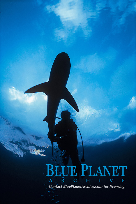 Diver rides Caribbean Reef Shark (Carcharhinus perezii). Bahamas, Caribbean Sea.
