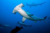 scalloped hammerhead shark, Sphyrna lewini, cocos island, costa rica, pacific ocean