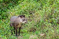 South American tapir, Tapirus terrestris, adult, Pousado Rio Claro, Mato Grosso, Brazil, South America
