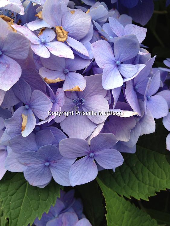 Closeup of hydrangea blossom