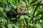 White-headed Capuchin (Cebus capucinus) in tree, Pipeline Road, Gamboa, Panama