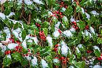 Snowy holly at the Arnold Arboretum in the Jamaica Plain neighborhood, Boston, Massachusetts, USA