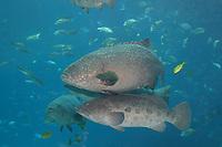 giant grouper, Epinephelus lanceolatus, and potato cod, Epinephelus tukula (c) in the Ocean Voyager Tank at the Georgia Aquarium. Atlanta, Ga