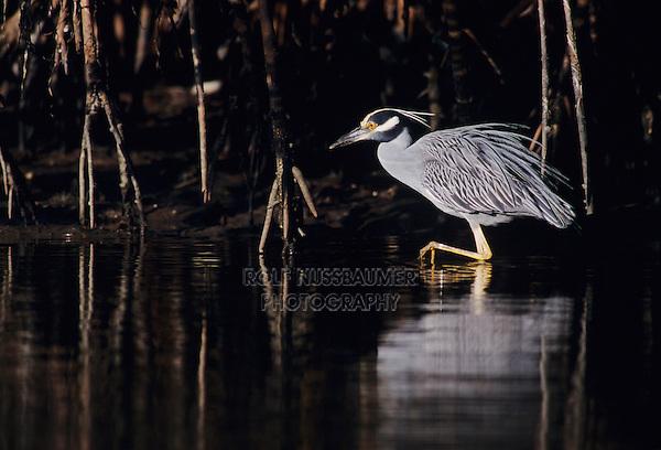 Yellow-crowned Night-Heron, Nyctanassa violacea, adult, Ding Darling National Wildlife Refuge, Sanibel Island, Florida, USA, Dezember 1998