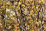 White-crowned sparrow blending in with the surroundings