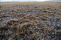Sanderling (Calidris alba) nest and breeding habitat. Bathurst Island, Nunavut, Canada. June.