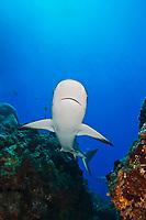 Caribbean Reef Shark, Carcharhinus perezii, swimming over coral reef ledges, West End, Grand Bahama, Bahamas, Caribbean, Atlantic Ocean