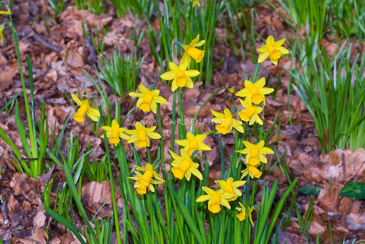 Narcissus 'Tete a Tete' (only one flower per stem) in spring blooming bulbs miniature dwarf yellow daffodils
