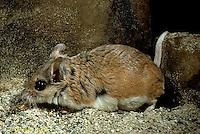 MU32-043z  Northern Grasshopper Mouse - Onychomys leucogaster