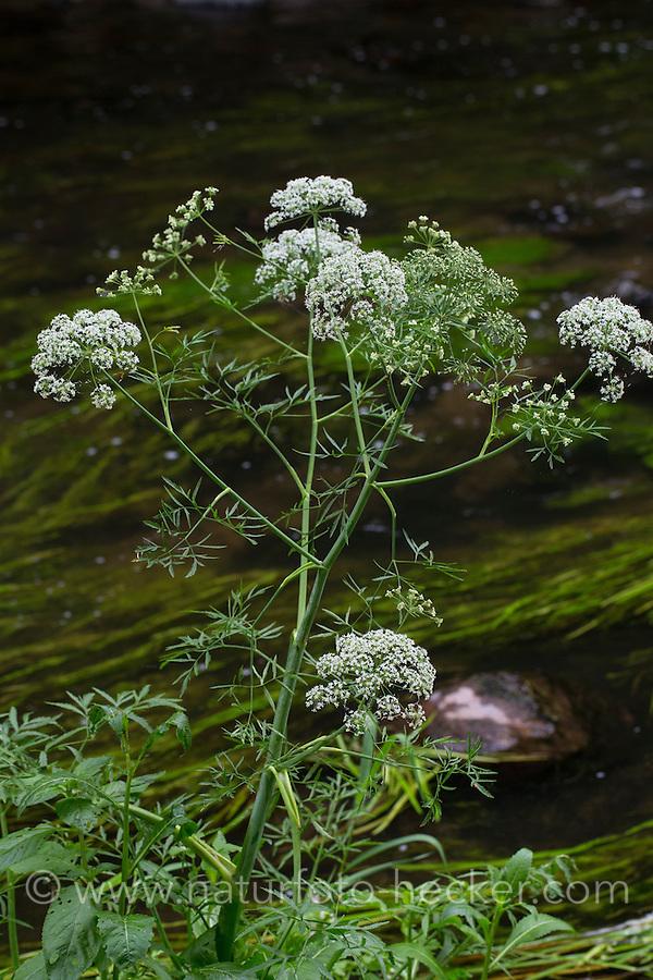 Wasserschierling, Wasser-Schierling, Schierling, Wüterich, Cicuta virosa, Selinum virosum, Cowbane, Northern Water Hemlock