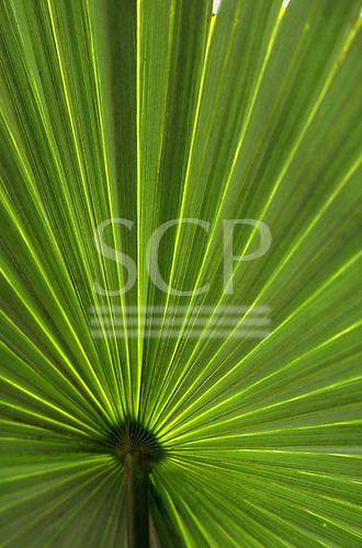 Brazil.  Translucent palm leaf.