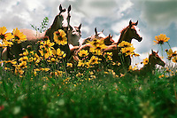 Arabian horses in wildflowers.