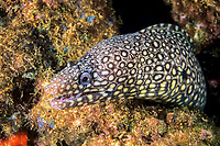 jewel moray eel, Muraena lentiginosa, Los Islotes, Baja California Sur, Mexico, Gulf of California, Sea of Cortez, Pacific Ocean