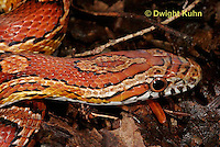 1R22-558z  Corn Snake, Banded Corn Snake, Elaphe guttata guttata or Pantherophis guttata guttata, close-up of head and eye.