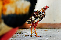 A cockfighting rooster seen in the breeding station in Villavicencio, Colombia, 17 April 2006. Cockfight is a widely popular and legal sporting event in Colombia. People take advantage of cock's natural, strong will to fight. Birds are specially trained to increase their aggression, stamina and to improve their fighting techniques. They are given the best of food, care and sometimes even a doping, basically in the same way like professional athletes are. Brave cocks are highly treasured. If a fighting cock wins certain number of matches breeders keep him for reproduction and do not let him fight anymore.