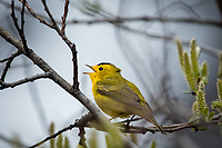 Wilson's Warbler (Cardellina pusilla)  in the mountains of Southcentral Alaska. Photo by James R.  Evans