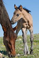 Wild Horse or feral horse (Equus ferus caballus) mare with colt.  Western U.S., summer.