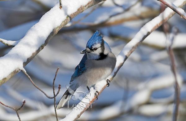 Blue Jay (Cyanocitta cristata) in winter snowfall. Nova Scotia, Canada.