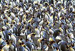 King penguin rookery, Macquarie Island, Australia