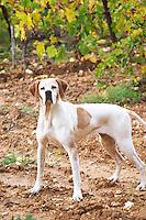 Mas de Perry, Mas Nicot. Terrasses de Larzac. Languedoc. The proud dog. France. Europe.