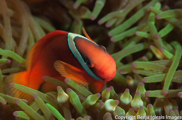 A small clown fish moving over tentacles of anemone at Keramas Islands Okinawa Japan.