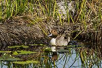 Northern Pintail Duck drake.  Klamath Marsh National Wildlife Refuge, OR.  May.