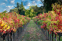 Rows of fall colored grapes. Vineyards of Napa Valley, California A sky has been added