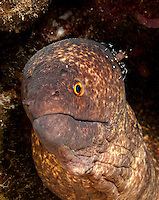 An underwater closeup of a yellowmargin moray with a cleaner shrimp on its head, off of the Waianae coast of O'ahu.