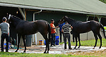 LOUISVILLE, KY - APRIL 20: Chad Brown trainees  My Man Sam (left) and Shagaf are bathed after exercising at Churchill Downs, Louisville KY. (Photo by Mary M. Meek/Eclipse Sportswire/Getty Images)